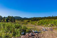 farm gooses in Dabadzveli mountain landscape near Borjomi  landmark of Samtskhe Javakheti region Georgia eastern Europe