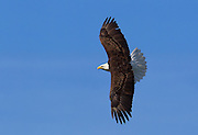An adult bald eagle (Haliaeetus leucocephalus) soars against a dark blue sky over Lake Washington in Kirkland, Washington.