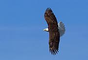 An adult bald eagle (Haliaeetus leucocephalus) soars against a dark blue sky over Lake Washington in Kirkland, Washington.