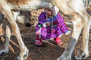 A little Tsaatan girl looking out from under a reindeer (Rangifer tarandus), Khovsgol Province, Mongolia