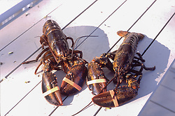 Live Lobsters with Rubber Bands on Claw Ready for Boiling, Castine, Maine, US