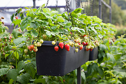 Strawberries grown in hanging basket 'troughs' in the fruit cage at Holt Farm organic garden
