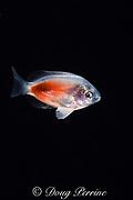 pelagic juvenile of blue-eye damselfish or Johnston Island damsel, Plectroglyphidodon johnstonianus, in surface waters of deep open ocean at night, Kona, Hawaii ( the Big Island ), USA ( Central Pacific Ocean )