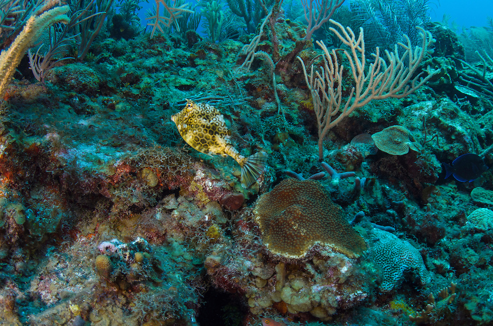 Honeycomb Cowfish (Lactophrys polygonia)<br /> Hol Chan Marine Reserve<br /> near Ambergris Caye and Caye Caulker<br /> Belize<br /> Central America