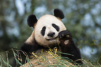 Portrait of a giant panda, Ailuropoda melanoleuca, sitting in a pile of bamboo and eating.