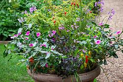 Terracotta pot containing Rosa moyesii 'Geranium', Capsicum annuum - Chilli, Tulbaghia violacea, Catharanthus roseus - Rose periwinkle -  and Panicum virgatum 'Heavy Metal'