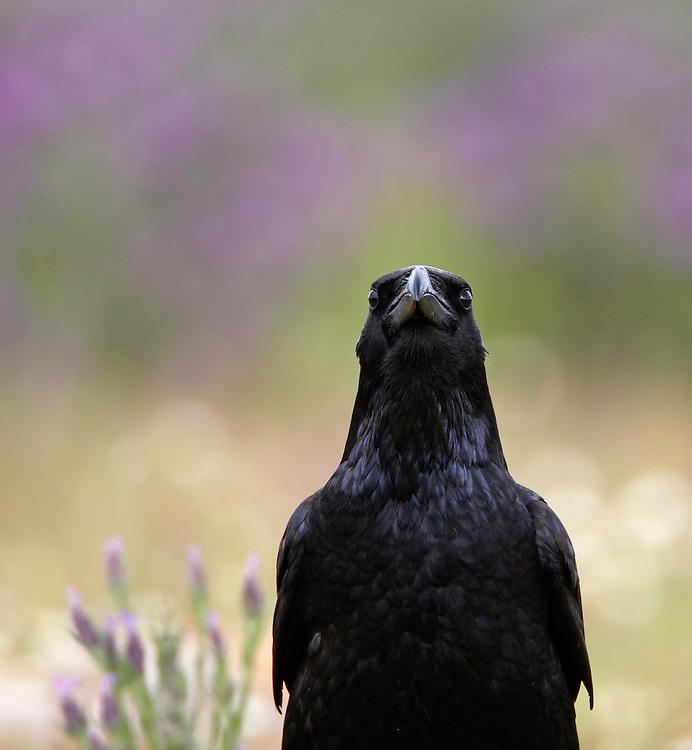 Raven (Corvus corax) Spain, Monfrague. April 2009