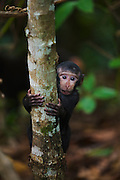 An infant Celebes Crested Macaque (Macaca nigra) shakily climbs a branch away from it's mother, Sulawesi, Indonesia