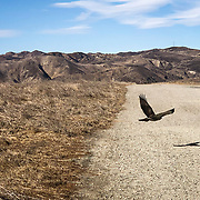 Red Tail Hawks are a common sighting in the Santa Monica Mountains in Southern California.