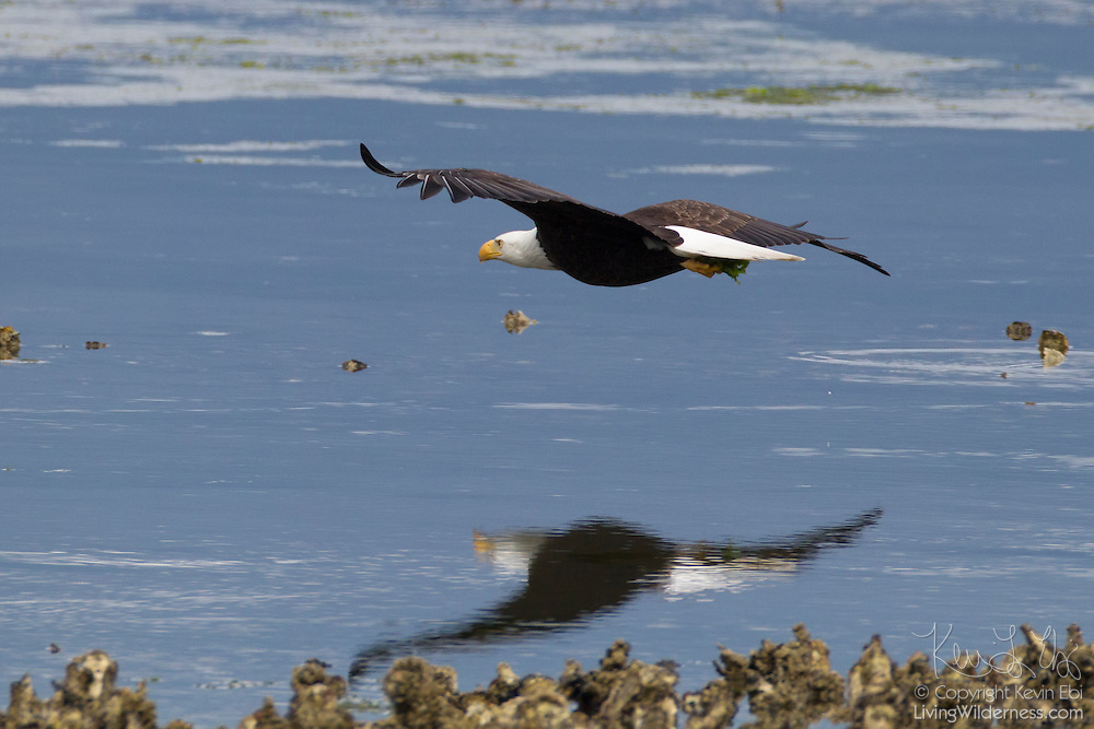 A bald eagle (Haliaeetus leucocephalus) flies over Hood Canal on the Olympic Peninsula of Washington state after catching a midshipman fish. Hundreds of bald eagles congregate in the area near Seabeck early each summer when the migrating fish are trapped in oyster beds during low tides.