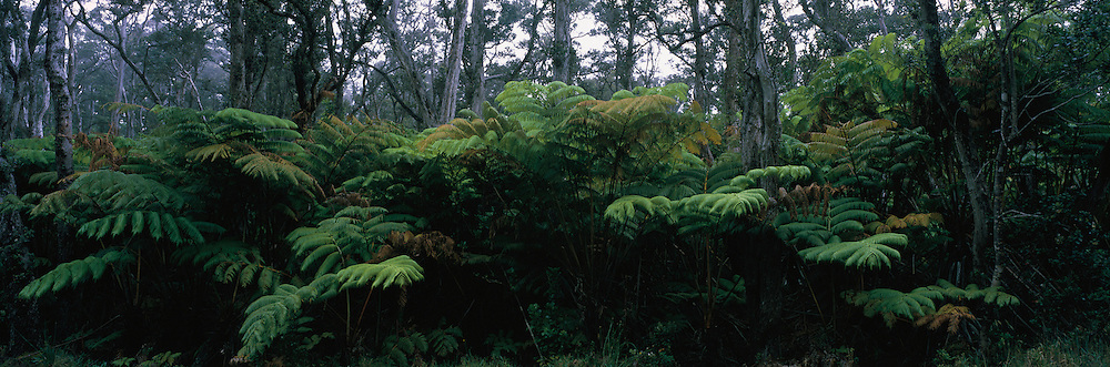 Ama'u fern, HVNP, Island of Hawaii<br />