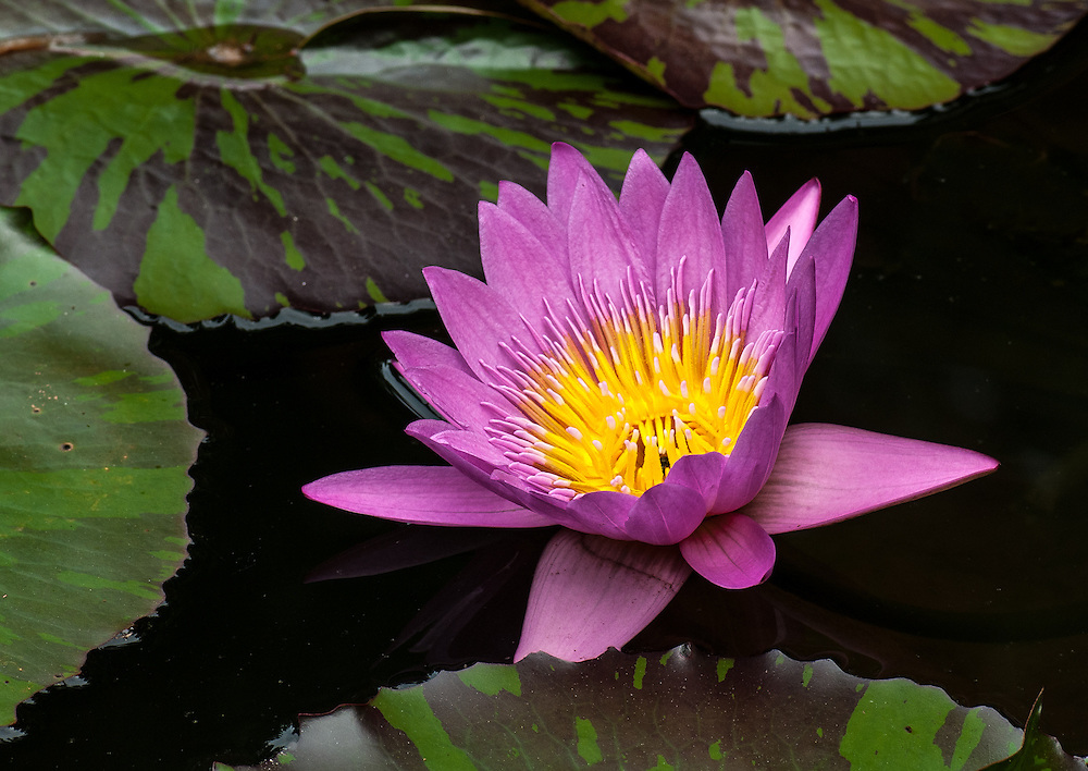 Waterlily Passion