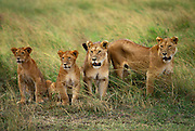 Image of a lioness with cubs in grassland, Masai Mara Reserve, Kenya, Africa by Randy Wells
