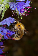 Common Carder Bee - Bombus pascuorum on Viper's Bugloss.