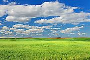 Field of oats<br /> Neidpath<br /> Saskatchewan<br /> Canada