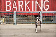 The barking Crab sign is a great backdrop for a Boston Terrier