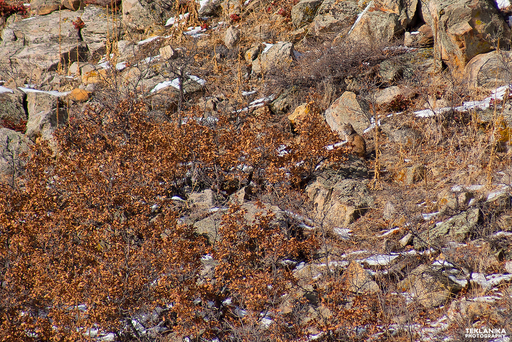 A bobcat demonstrates its camouflage.