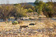 Dingo at Simpson's Gap, West Madonnell Mountain Range, Australia