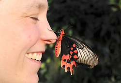 © London News Pictures. 2011/01/18 .Lara Smith (35) poses with a Big Billy (correct) butterfly on her nose. The 'Butterflies in the Glasshouse' exhibit opens at RHS Wisley, Woking, Surrey today (Tues). 100's of tropical butterflies have been released amongst the tropical plants and flowers.   . Picture credit should read Stephen Simpson/LNP