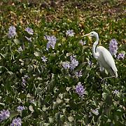 Great Egret in water hyacinths along Transpantaneira Road, Pantanal, Brazil.