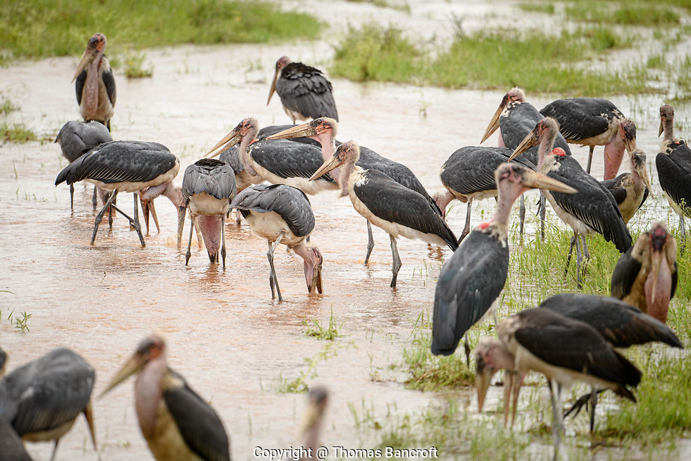A muster of Marabou Storks congregated in the outflow from a small pond in Nairobi National Park, Kenya.