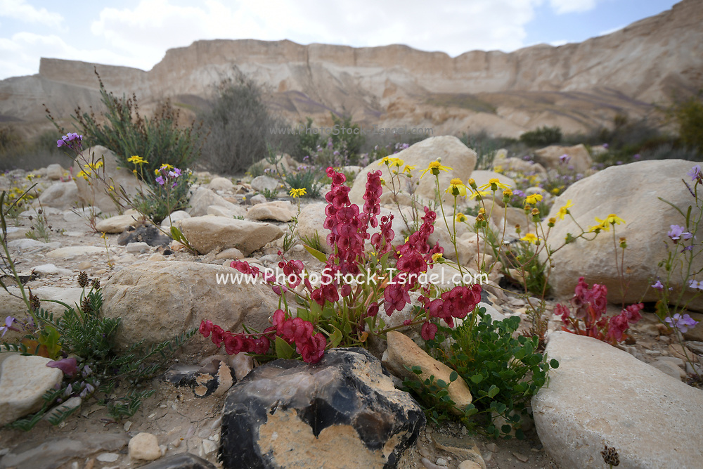 Blooming Knotweed sorrel (Rumex cyprius syn Rumex roseus). After a rare rainy season in the Negev Desert, Israel, an abundance of wildflowers sprout out and bloom. Photographed in Wadi Zin, Negev, Israel in March
