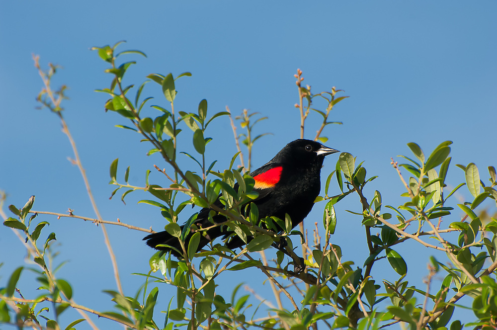 A spectacular male red-winged blackbird shows off his shoulder patches in the St. Marks National Wildlife Refuge on North Florida's Gulf Coast.
