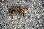 Nederland, Ubbergen, 8-8-2009Verkeersslachtoffer. Dode jonge vogel.Foto: Flip Franssen/Hollandse Hoogte