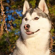 20120827 Huskies