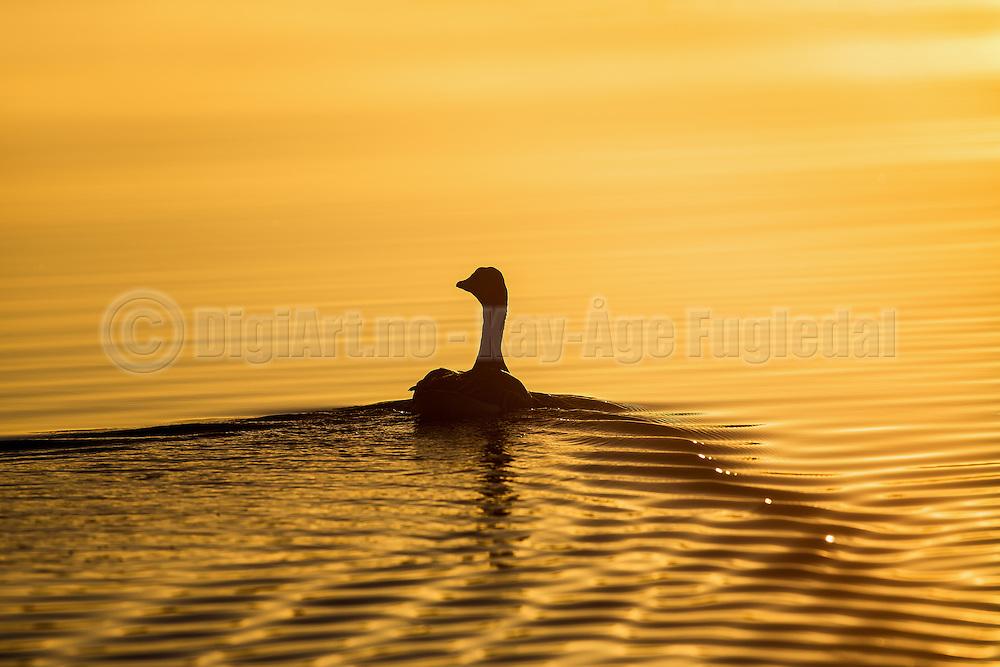 Grey Goose swimming in golden sea, late summers night at sunset   Grågås som svømmer i gyllen sjø, sent en sommerkveld ved solnedgang