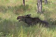 Moose, Alces alces, (C), female, Shubenacadie Wildlife Park,  Nova Scotia, Canada, calling