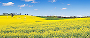 a field of flowering canola crop on rolling hills under blue sky and cumulus cloud near Junee, New South Wales, Australia. <br /> <br /> Editions:- Open Edition Print / Stock Image