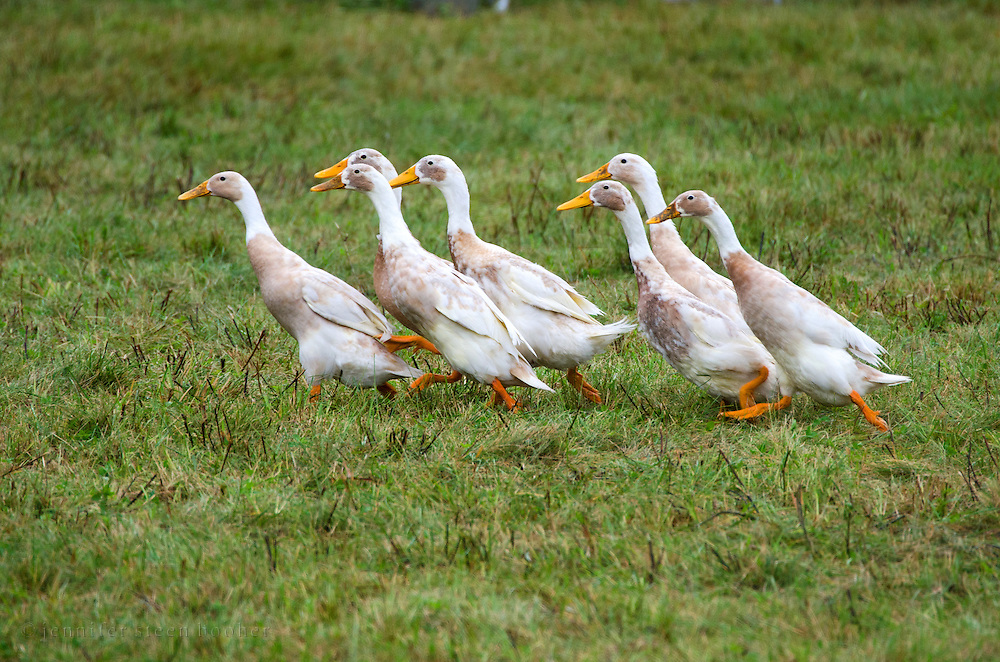 A small flock of geese being herded at a sheepdog demonstration, Common Ground Fair, Unity, Maine.