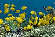 schooling yellow tangs ( Zebrasoma flavescens ), Kealekekua Bay, Kona, Hawaii, USA ( Central Pacific Ocean )