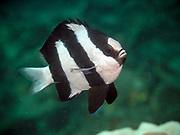 Humbug Dascyllus, Dascyllus aruanus, known commonly as the whitetail dascyllus or humbug damselfish among other vernacular names, is a species of marine fish in the family Pomacentridae.