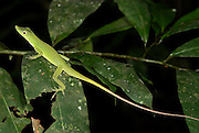 Green Forest Anole, Anolis punctatus, Manu, Peru, on leaf in jungle at night