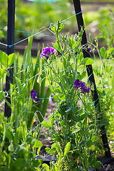 Young sweet peas starting to grow up metal obelisk plant support. Lathyrus odoratus