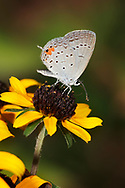 Small Butterfly, One Of The Hairstreaks, Dining On Black Eyed Susan Nectar
