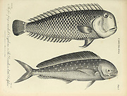 Coryphaena 1. Five finger-marked Coryphena 2. Dorada or little Dolphin Copperplate engraving From the Encyclopaedia Londinensis or, Universal dictionary of arts, sciences, and literature; Volume V;  Edited by Wilkes, John. Published in London in 1810
