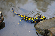 Israel, Fire Salamander (Salamandra salamandra) in water Tadpoles can be seen swimming in the pond