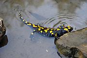 Israel, Fire Salamander (Salamandra salamandra) in water Tadpoles can be seen swimming in the pond