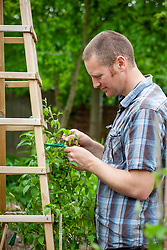 Tying in a clematis to a wooden obelisk plant support with garden ribbon