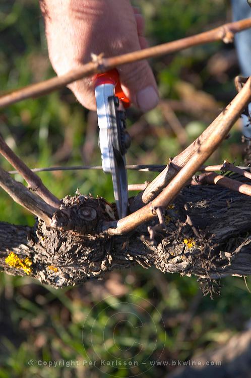 François Lafon Domaine de l'Aigle. Limoux. Languedoc. Vines trained in Cordon royat pruning. Man pruning vines. France. Europe.