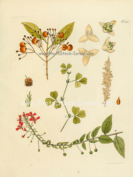 hand painted Botanical illustration of flower details leafs and plant from Collectaneorum Supplementum by Nicolai Josephi Jacquin Published 1796. Figure 15