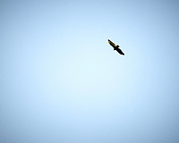 Turkey Vulture. Image taken with a Nikon D300 camera and 80-400 mm VR lens (ISO 200, 400 mm, f/5.6, 1/1250 sec).
