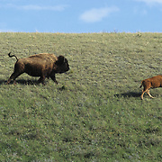 Bison (Bison bison) cow and calf on the grasslands of Montana.