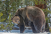 Grizzly bears mating in snow-covered landscape.