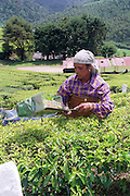 woman working in a Tea plantation India, Kerala, a state on the tropical coast of south west India