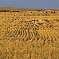 MONTANA. Cattle graze wheat stubble in the Missouri Breaks northwest of Fort Peck Lake in Phillips County.