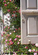 Antique Roses, rosa 'tausendshin' rambler, Wyck, Quaker family House and Gardens, Germantown, Philadelphia, PA